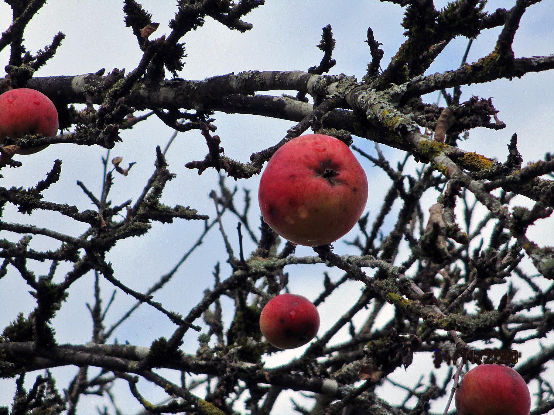 Apfelbaumzweig von der Streuobstwiese im Hofgarten